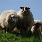 A Brief History of Wool Production in Great Britain